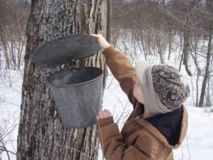 Mud Road Sugar House Sap bucket | Ephratah NY | Mohawk Valley Today